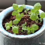【経過観察】100均の土を使って、種からスペアミントを栽培してみた!